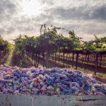 Wirkstoffporträt Resveratrol/Weintraube